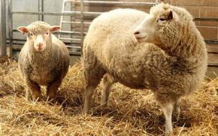 cloned sheep 1691358c