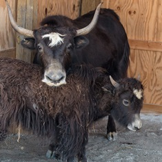 Tibetan yak and calf
