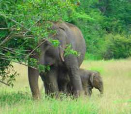 Indian elephant with baby elephant smaller