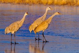 Sanhill cranes Rio Grande smaller